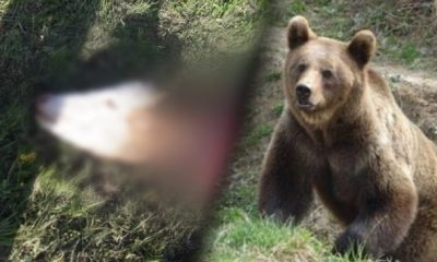 Un urs a atacat și a mâncat o vacă în incinta unei ferme dintre Săndulești și Cheile Turzii