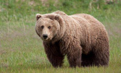 Cluj: Urșii au atacat mai multe gospodării din Feleacu