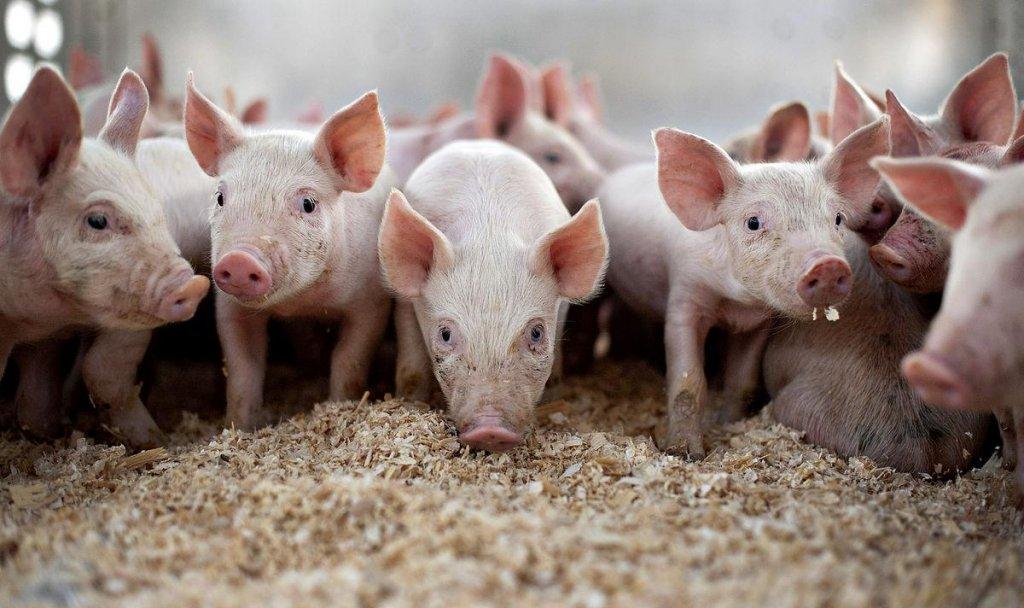 Suspiciune de pestă porcină în Cluj