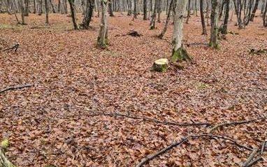 """Hoţii de lemne din Hoia Baciu scapă basma curată. MOTIVUL e incredibil! Poliția spune că """"nu are cu ce mașină să ajungă la locul faptei"""""""