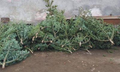 Campanie de colectare a brazilor de Crăciun la Florești. În ce zile se desfășoară