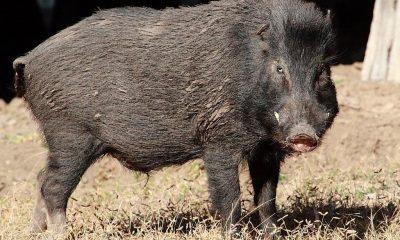Mistreț cu pestă porcină la Cluj. Autorităţile sunt în alertă