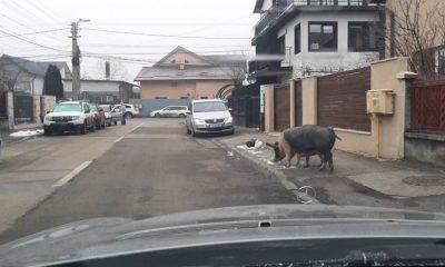 Porci ieșiți la plimbare pe o stradă din Cluj Napoca