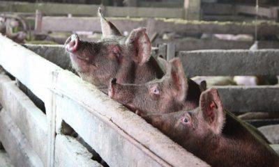ANSVSA a identificat două focare de pestă porcină africană la Cluj
