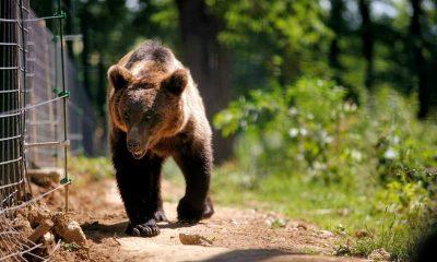 Proiect care va estima populaţia de urşi din România, lansat de Ministerul Proiectelor Europene şi Ministerul Mediului