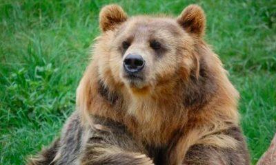 Un alt bărbat a fost ucis de urs. Ciobanul de 80 de ani a fost găsit în Mureș cu ajutorul dronei