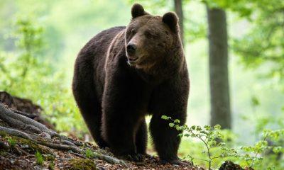 Un urs a fost ucis de trei săteni, după ce a atacat trei bărbați în plină stradă